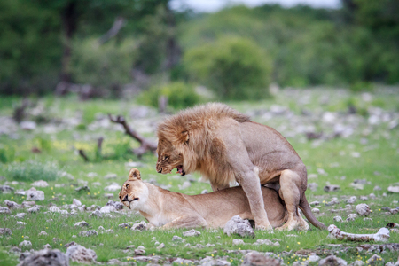 Mating Lions in the Etosha National Park, Namibia.