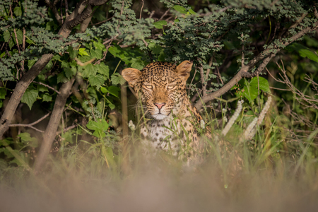 starring: Starring Leopard in bushes in the Central Khalahari, Botswana. Stock Photo
