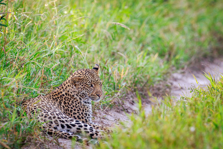 Leopard laying on a path in the Central Khalahari, Botswana.