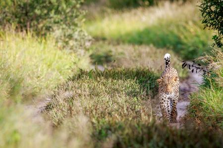 Leopard walking towards the camera in the Central Khalahari, Botswana. Stock Photo
