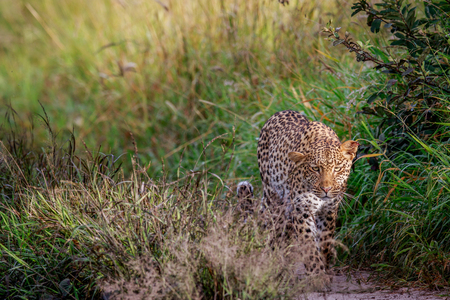 Leopard walking towards the camera in the Central Khalahari, Botswana. Stock Photo