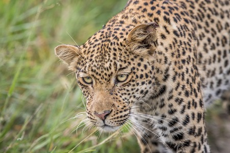 Close up of a Leopard head in the Central Khalahari, Botswana.