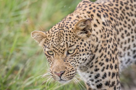 game drive: Close up of a Leopard head in the Central Khalahari, Botswana.