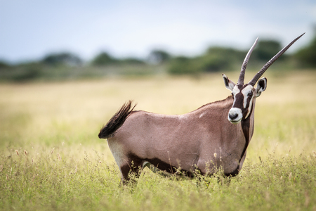 Gemsbok standing in high grass in the Central Khalahari, Botswana.