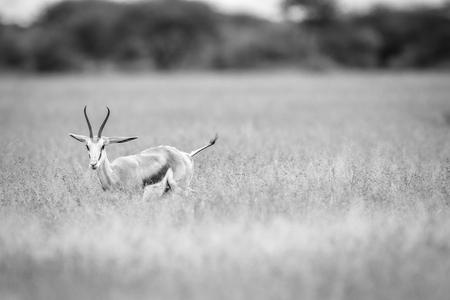 bovidae: Springbok starring at the camera in black and white in the Central Khalahari, Botswana. Stock Photo