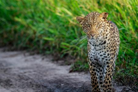 Leopard starring at the camera in the Central Khalahari, Botswana.