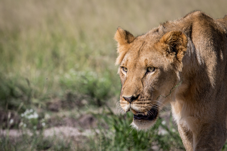 Side profile of a young male Lion in the Central Khalahari, Botswana.