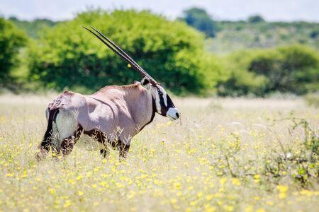 Side profile of a Gemsbok in long grass in the Central Khalahari, Botswana. Stock Photo