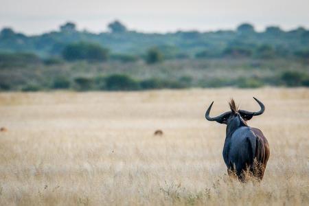 Starring Blue wildebeest from behind in the Central Khalahari, Botswana. 版權商用圖片