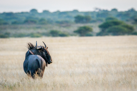 Blue wildebeest looking back in the Central Khalahari, Botswana. Stock Photo