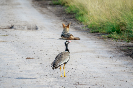 Northern black korhaan on the road with a Black-backed jackal in the background in the Central Kalahari, Botswana. Stock Photo