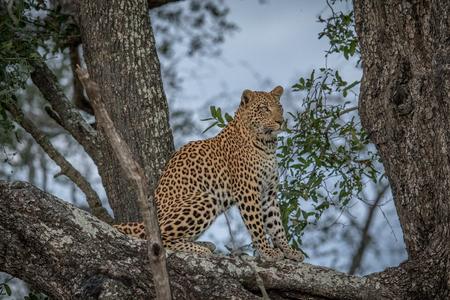 Leopard sitting in a tree in the Okavango delta, Botswana. Stock Photo