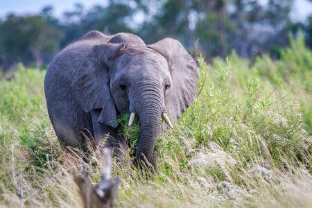 Eating Elephant in front of the camera in the Okavango delta, Botswana. Stock Photo