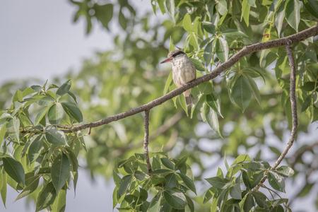Striped kingfisher on a branch in the Okavango delta, Botswana. Reklamní fotografie
