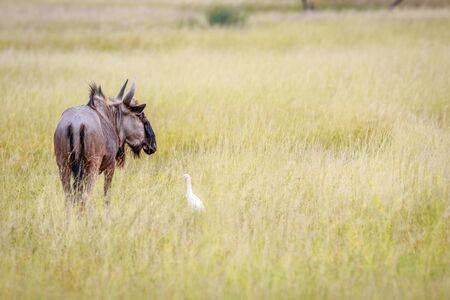 Blue wildebeest in high grass with a Cattle egret in the Okavango delta, Botswana.
