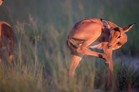 Young Impala grooming itself in the Okavango delta, Botswana.