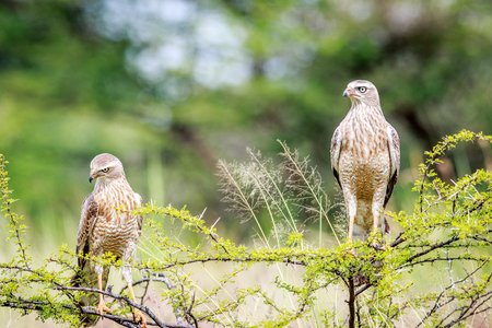 Two juvenile Pale-chanting goshawks on a branch in the Okavango delta, Botswana. Stock Photo