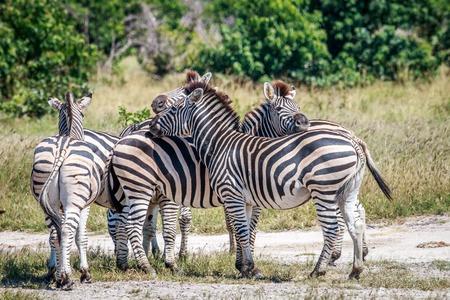 Bonding Zebras in the Chobe National Park, Botswana. Stock Photo