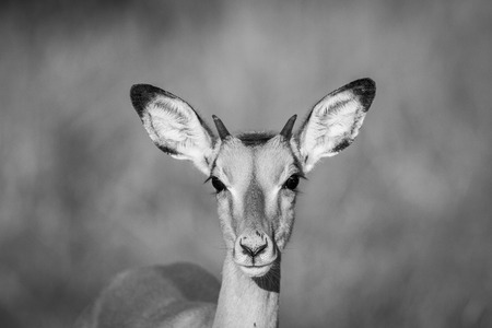 Young Impala starring at the camera in black and white in the Chobe National Park, Botswana.