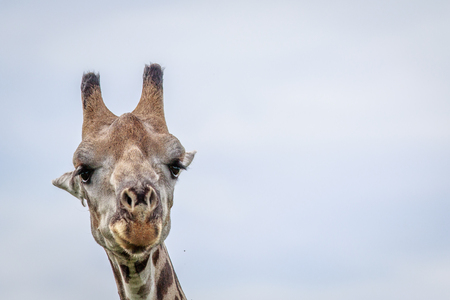 Close up of a Giraffe in the Okavango delta, Botswana. Stock Photo