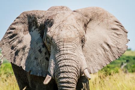 Elephant starring at the camera in the Chobe National Park, Botswana. Stock Photo