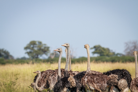 flightless: Group of Ostriches standing in high grass in the Chobe National Park, Botswana.