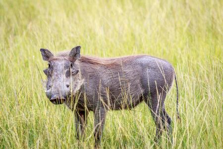 Warthog standing in long grass in the Okavango delta, Botswana.