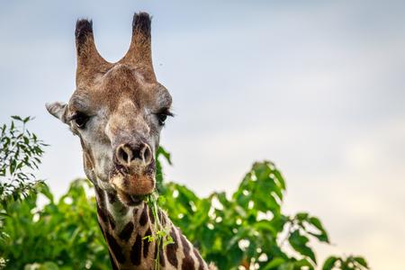 Close up of an eating Giraffe in the Okavango delta, Botswana. Stock Photo