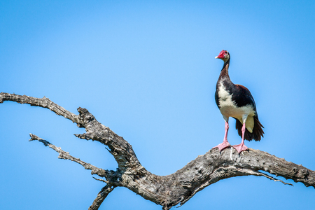 Spur-winged goose on a branch in the Chobe National Park, Botswana.