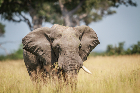 Big Elephant standing in high grass in the Chobe National Park, Botswana.