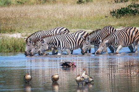 herbivores: Group of Zebras drinking in the Chobe National Park, Botswana.