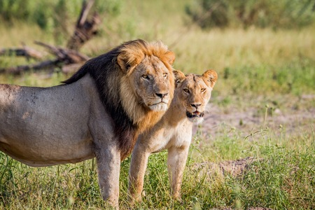 Lion couple standing in the grass in the Chobe National Park, Botswana.