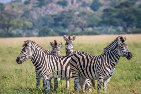 Group of starring Zebras in the grass in the Chobe National Park, Botswana.