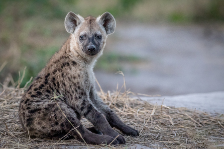 Young Spotted hyena sitting down in the Chobe National Park, Botswana. Stock Photo