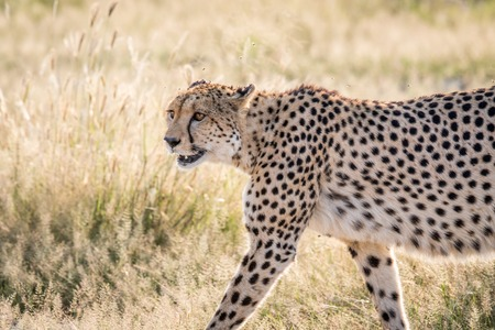 Side profile of a Cheetah in the Chobe National Park, Botswana. Stock Photo