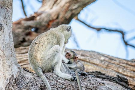 Vervet monkey family sitting in a tree in the Chobe National Park, Botswana.
