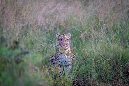 Leopard starring at the camera in the Chobe National Park, Botswana.