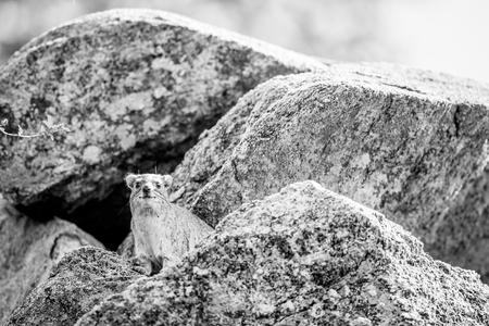 Rock hyrax basking on the rocks in black and white in Hwange National Park, Zimbabwe.