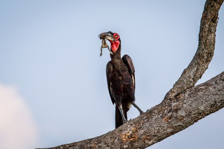Southern ground hornbill with a frog kill in a tree in the Chobe National Park, Botswana. Stock Photo