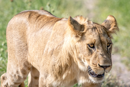 Side profile of a Lion in the Chobe National Park, Botswana.