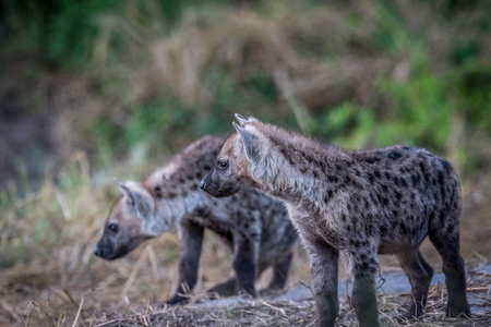 hienas: Two curious young Spotted hyenas in the Chobe National Park, Botswana.