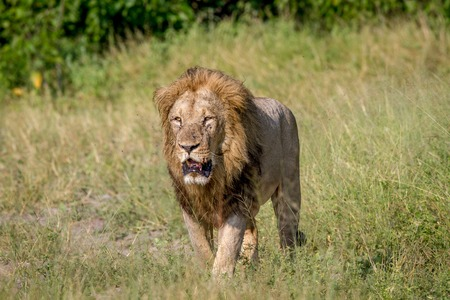 Big male Lion walking in the high grass in the Chobe National Park, Botswana.