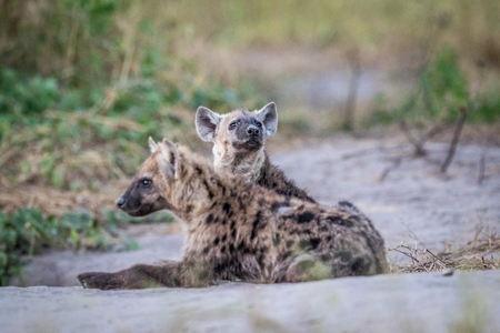 hienas: Two young Spotted hyenas laying down in the Chobe National Park, Botswana. Foto de archivo