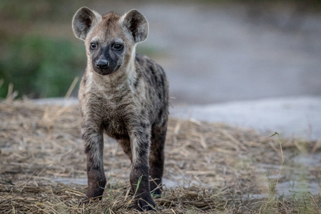 Curious young Spotted hyena starring at the camera in the Chobe National Park, Botswana.