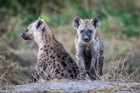 hienas: Two young Spotted hyenas sitting down in the Chobe National Park, Botswana. Foto de archivo