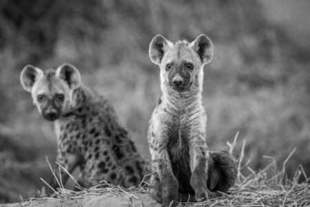 hienas: Two young Spotted hyenas sitting down in black and white in the Chobe National Park, Botswana.