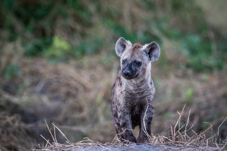Young Spotted hyena starring in the Chobe National Park, Botswana. Stock Photo
