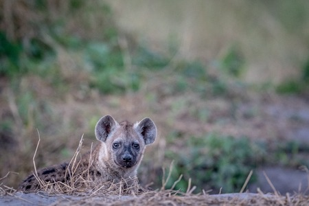 scavenger: Young Spotted hyena starring at the camera in the Chobe National Park, Botswana.