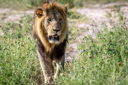 Big male Lion walking towards the camera in the Chobe National Park, Botswana.