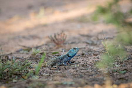 Southern tree agama on the ground in the Marakele National Park, South Africa.